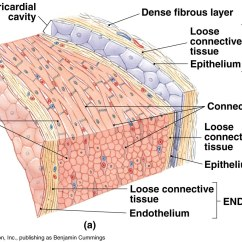 Cardiac Muscle Tissue Diagram Labeled Whirlpool Duet Washer Wiring Anatomy Of Heart Cardiovascular And Exocrine System