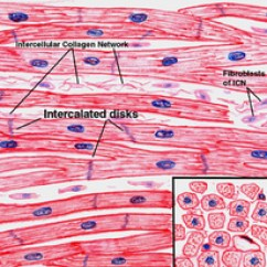 Cardiac Muscle Labeled Diagram Schematic Of Electrical Wiring Blood Circulation Anatomy Physiology Ii The Picture To Left Is Cells Are Short And Fat They Branch Out Each Other As Allow Faster Communication Between