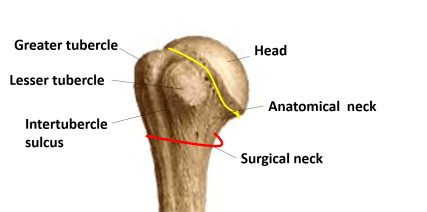 upper end of humerus