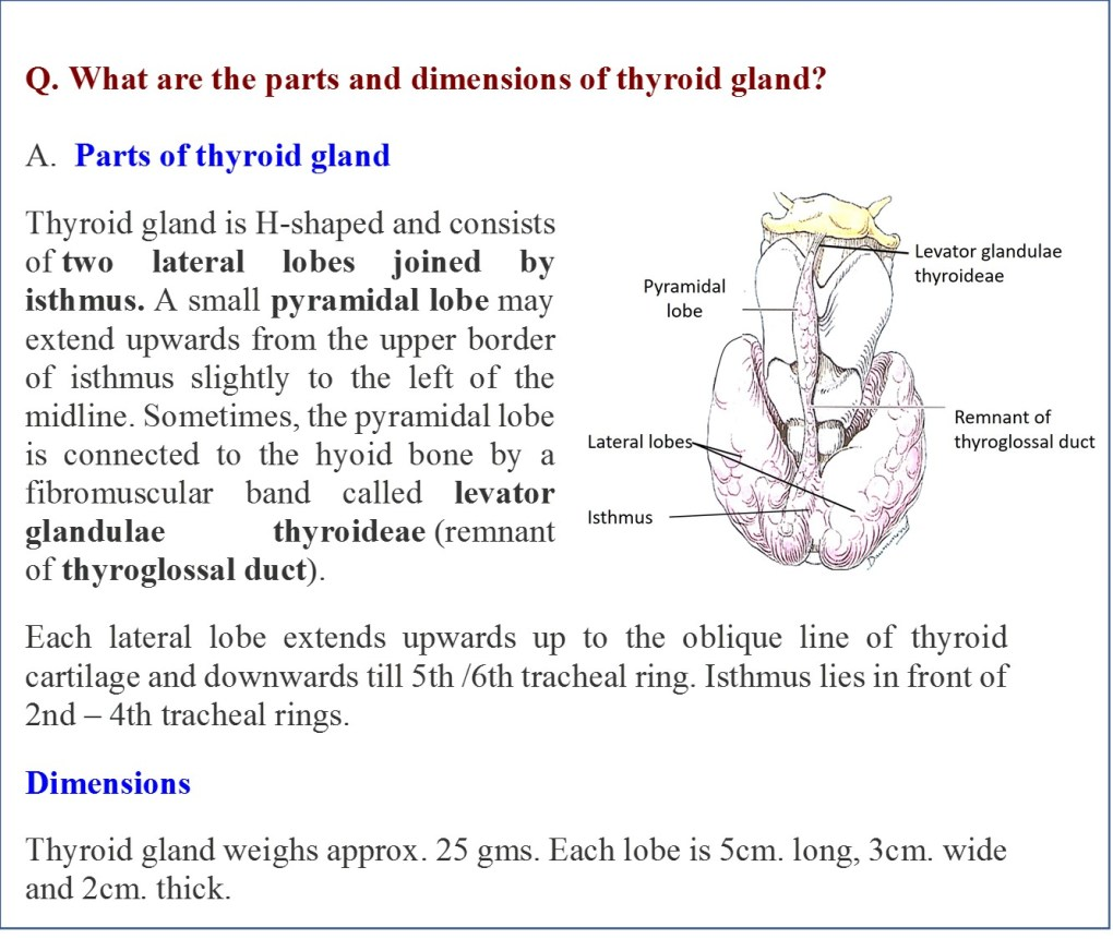Parts and dimentions of thyroid gland