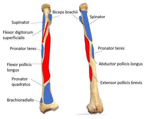 muscle attachment on radius