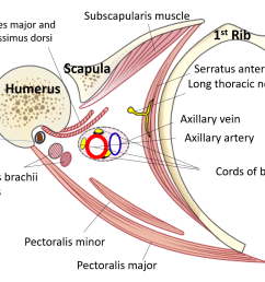 axillary tail diagram [ 1638 x 962 Pixel ]