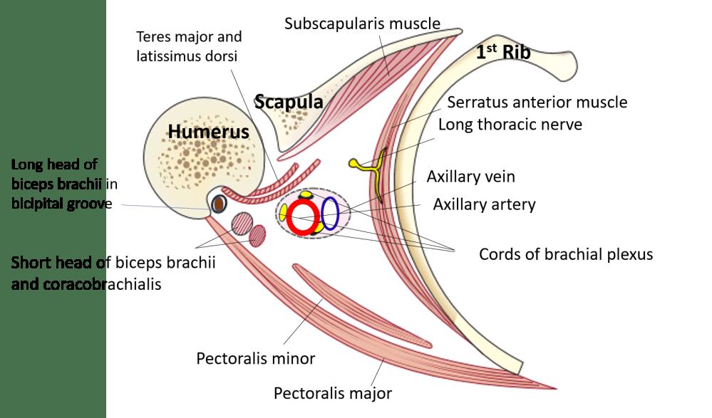 medium resolution of axillary tail diagram