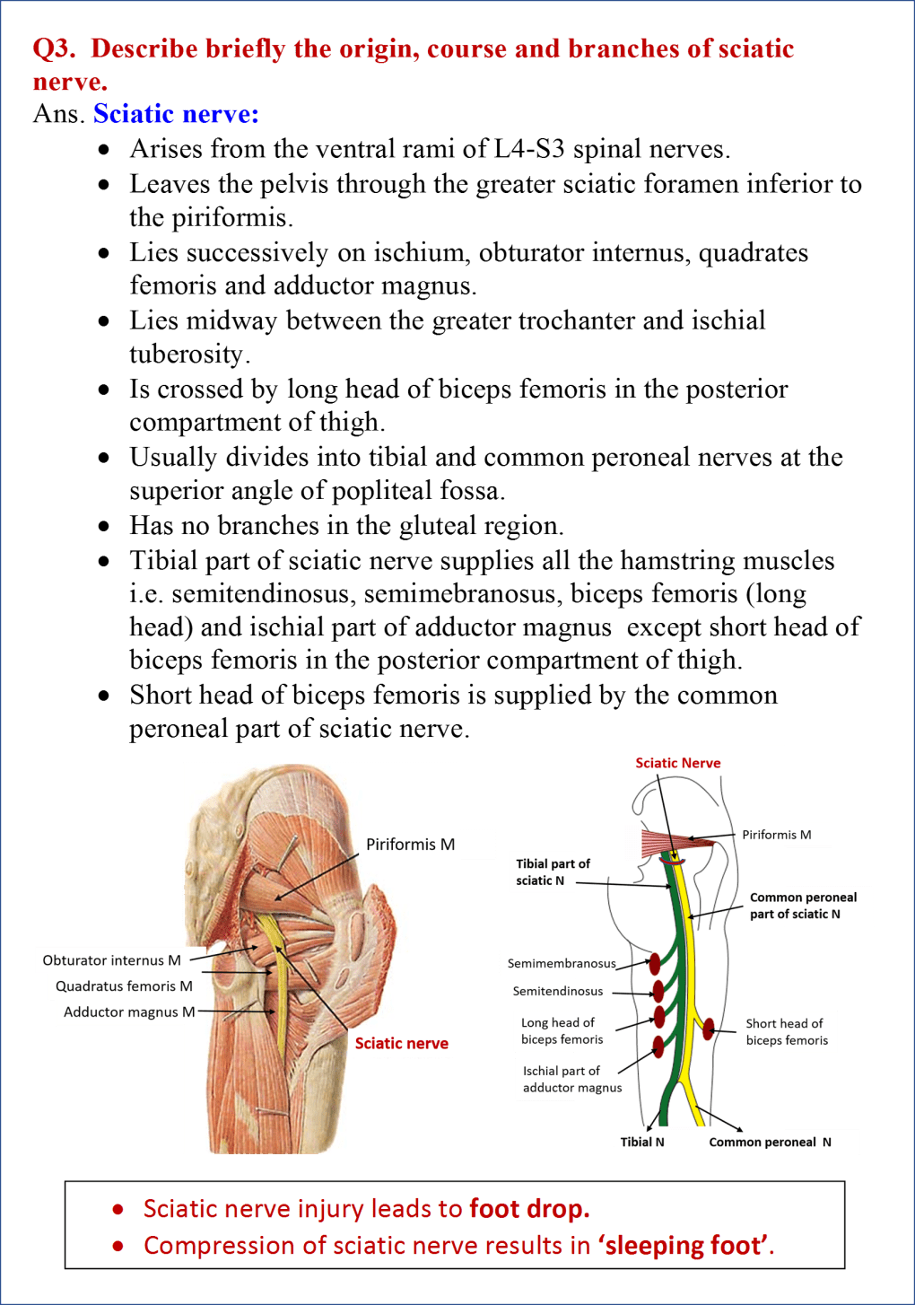 Gluteal region anatomy qa sciatic nerve root value course branches and muscles supplied altavistaventures Choice Image