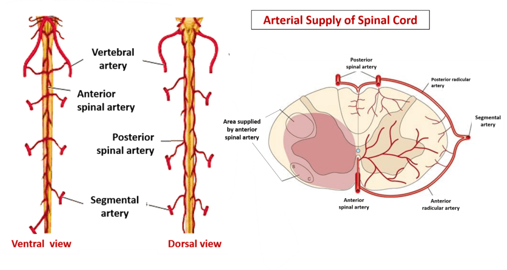 Arterial supply of spinal cord