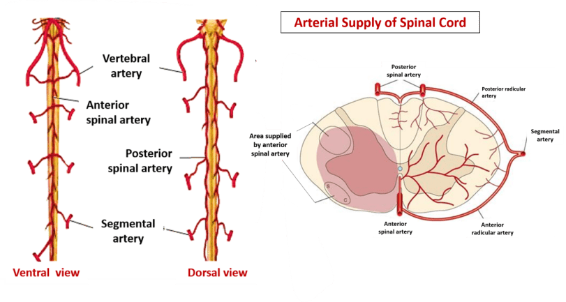 Spinal Cord - Extent, gross features, meninges, blood supply -