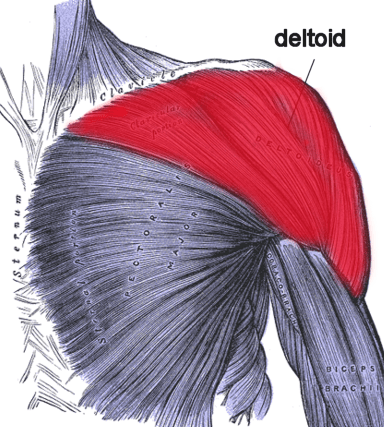 muscles in your arm diagram onstar wiring deltoideus | anatomy study buddy