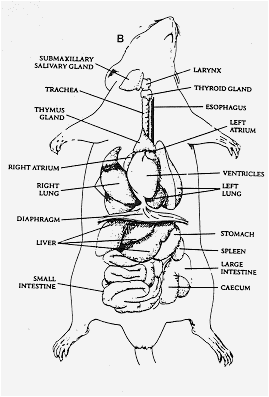 Frog Integumentary System Diagram Rat Dissections Sullivan S Anatomy Class