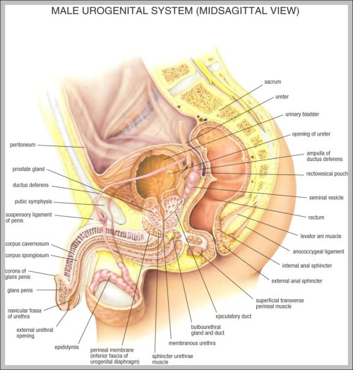 small resolution of anatomy female 1024 1111 diagram anatomy female 1024 1111 chart human anatomy diagrams and charts explained this diagram depicts anatomy female
