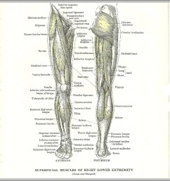 anatomy of leg muscles diagram anatomy of leg muscles chart human anatomy diagrams and charts explained this diagram depicts anatomy of leg muscles  [ 951 x 968 Pixel ]