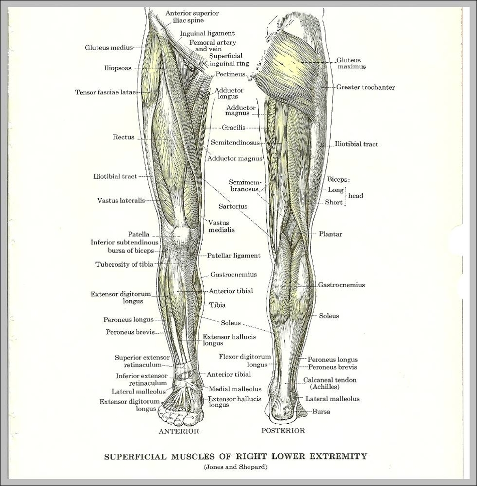 medium resolution of anatomy of leg muscles diagram anatomy of leg muscles chart human anatomy diagrams and charts explained this diagram depicts anatomy of leg muscles