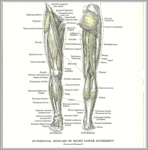 small resolution of anatomy of leg muscles diagram anatomy of leg muscles chart human anatomy diagrams and charts explained this diagram depicts anatomy of leg muscles