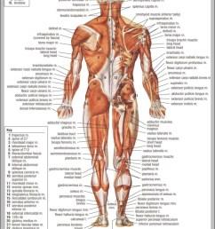 back muscles anatomy chart 744 1140 [ 751 x 1100 Pixel ]