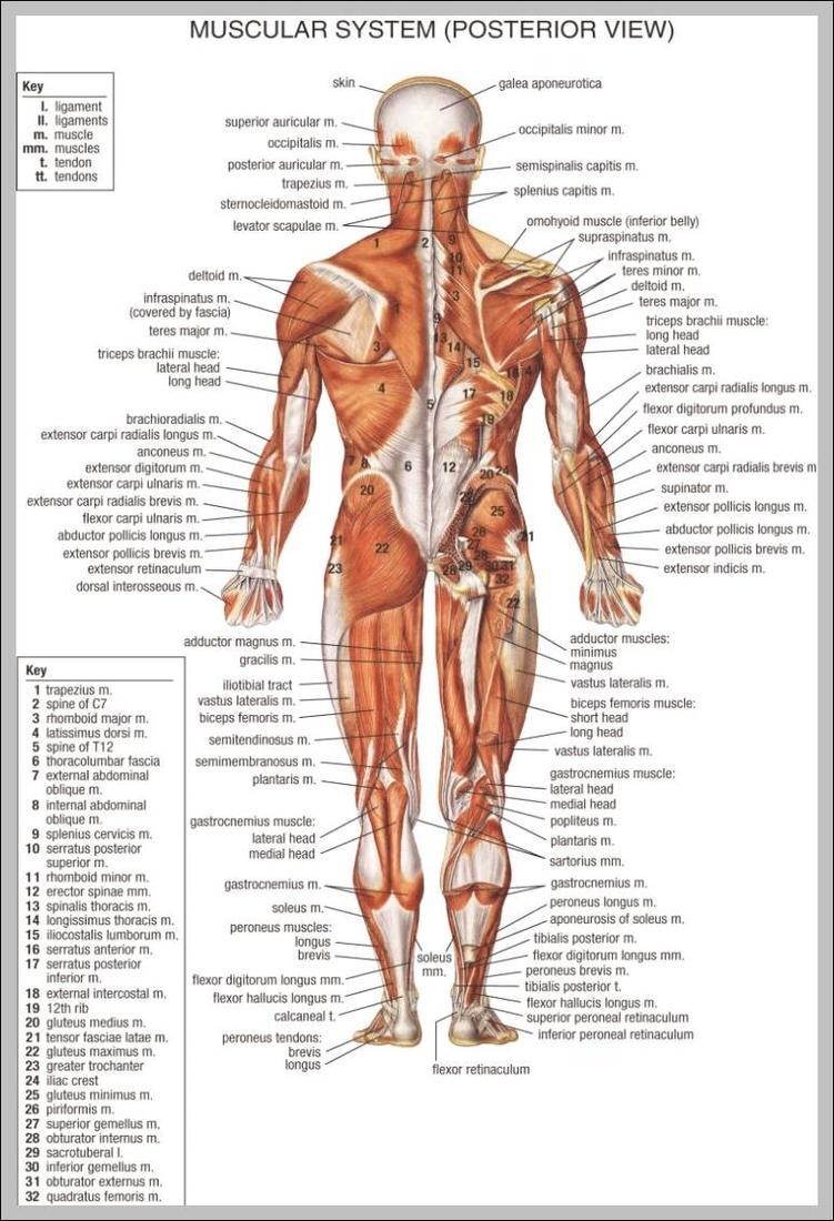 hight resolution of back muscles anatomy chart 744 1140