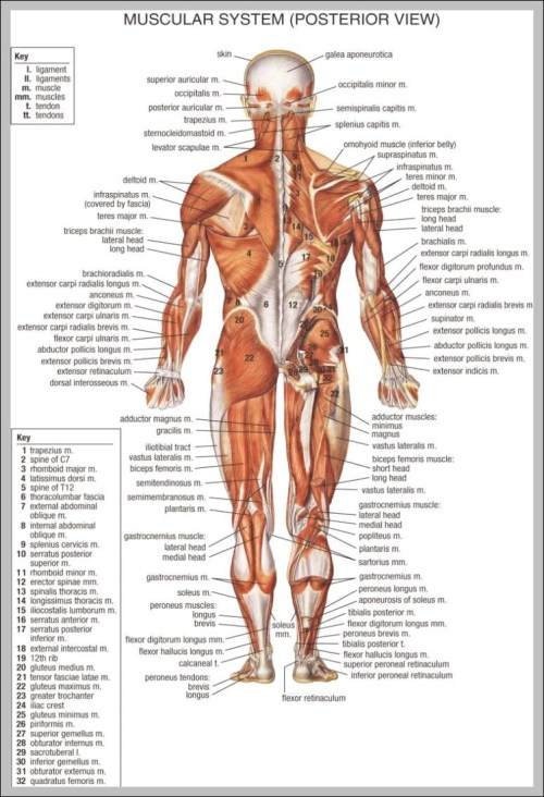 small resolution of back muscles anatomy chart 744 1140