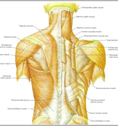back shoulder muscles diagram back shoulder muscles chart human anatomy diagrams and charts explained this diagram depicts back shoulder muscles with  [ 1507 x 1400 Pixel ]
