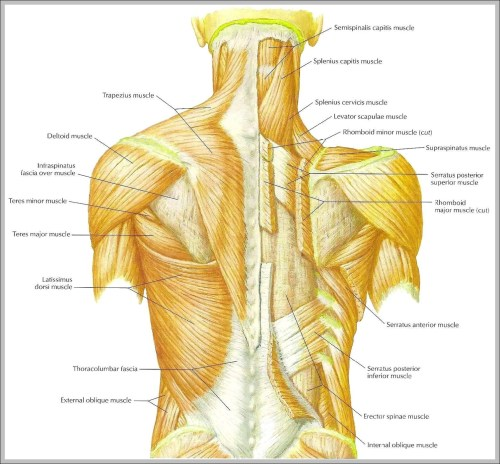 small resolution of back shoulder muscles diagram back shoulder muscles chart human anatomy diagrams and charts explained this diagram depicts back shoulder muscles with