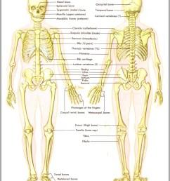back skeletal anatomy diagram back skeletal anatomy chart human anatomy diagrams and charts explained this diagram depicts back skeletal anatomy with  [ 1484 x 1824 Pixel ]