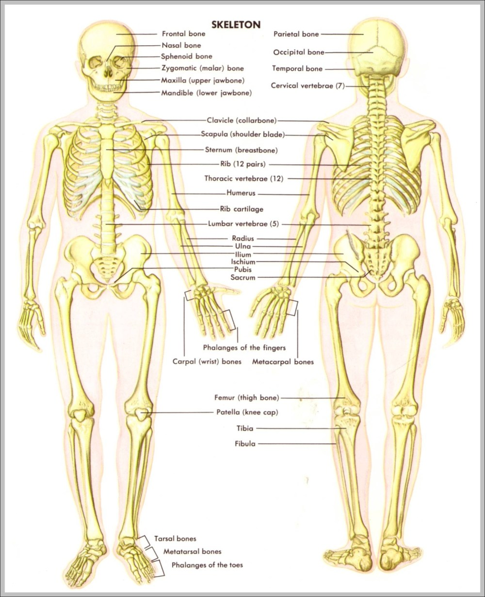 medium resolution of back skeletal anatomy diagram back skeletal anatomy chart human anatomy diagrams and charts explained this diagram depicts back skeletal anatomy with