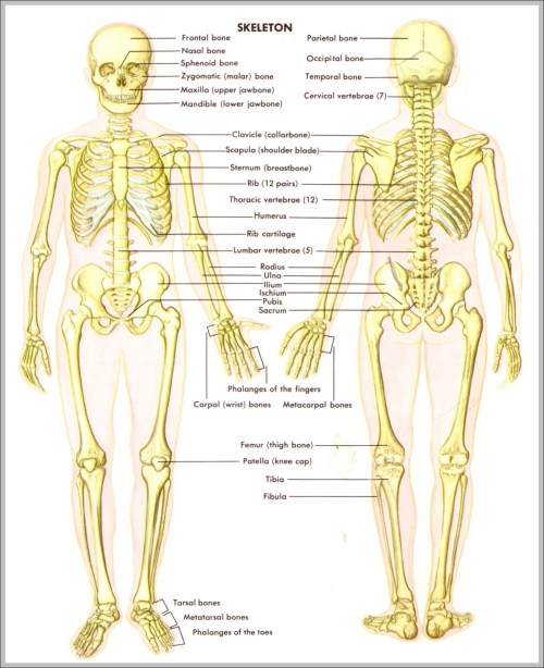 small resolution of back skeletal anatomy diagram back skeletal anatomy chart human anatomy diagrams and charts explained this diagram depicts back skeletal anatomy with