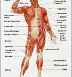 body muscles diagram anatomy system human body anatomy diagrambody muscles diagram [ 857 x 1165 Pixel ]