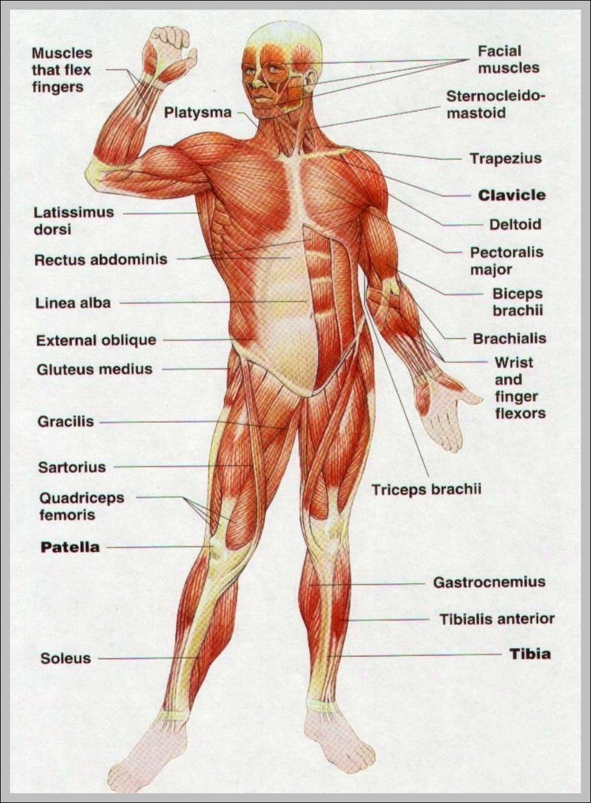 hight resolution of body muscles diagram