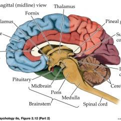 Human Brain Cell Diagram Nissan Versa Radio Wiring Anatomy System Body