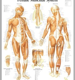 female muscle anatomy diagram diagram female muscle anatomy diagram chart human anatomy diagrams and charts explained this diagram depicts female  [ 902 x 1104 Pixel ]