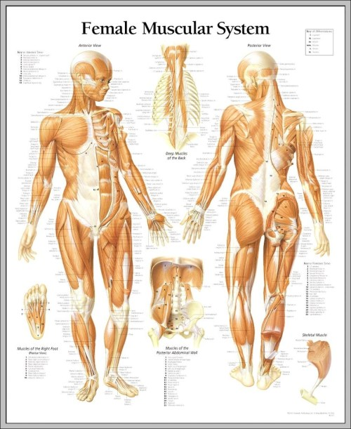 small resolution of female muscle anatomy diagram diagram female muscle anatomy diagram chart human anatomy diagrams and charts explained this diagram depicts female