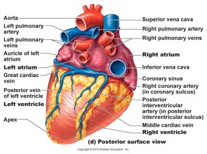 Anatomy System  Human Body Anatomy diagram and chart