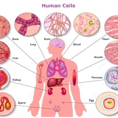 Human Muscle Cell Diagram Activity With Swimlanes Body Cells Anatomy System