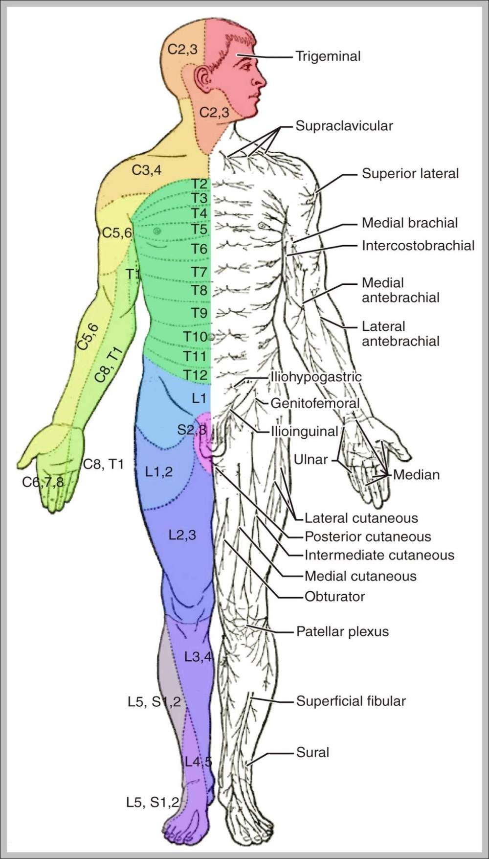 medium resolution of labeled muscle diagram 1024 1878 diagram labeled muscle diagram 1024 1878 chart human anatomy diagrams and charts explained