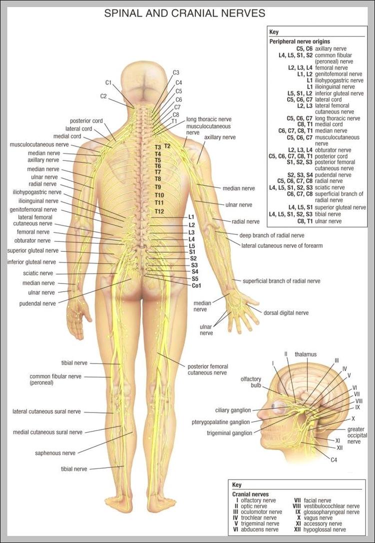 medium resolution of lower back anatomy diagram 744 1125