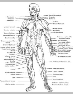 Muscles of the human body diagram also anatomy system rh anatomysystem