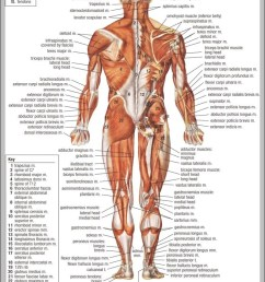 muscular system parts 744 1152 diagram muscular system parts 744 1152 chart human anatomy diagrams and charts explained this diagram depicts muscular  [ 751 x 1111 Pixel ]