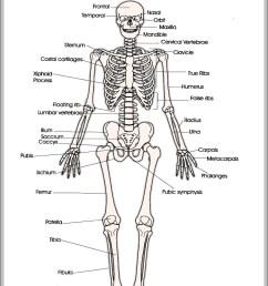 human skeleton anatomy anatomy system human body anatomy diagramprintable human skeleton diagram printable human skeleton chart [ 976 x 1289 Pixel ]