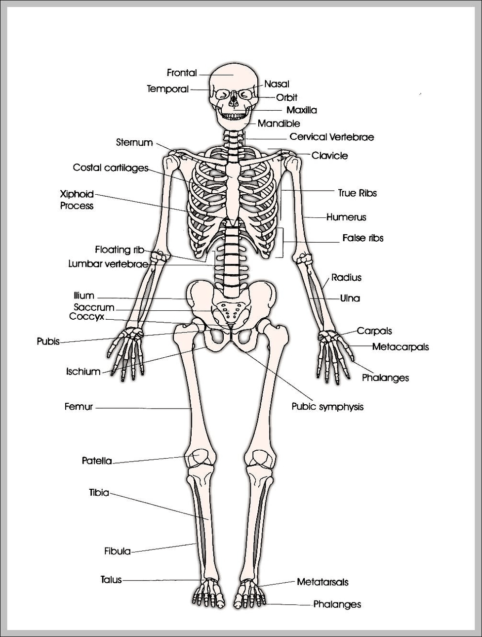medium resolution of printable human skeleton diagram printable human skeleton chart human anatomy diagrams and charts explained this diagram depicts printable human