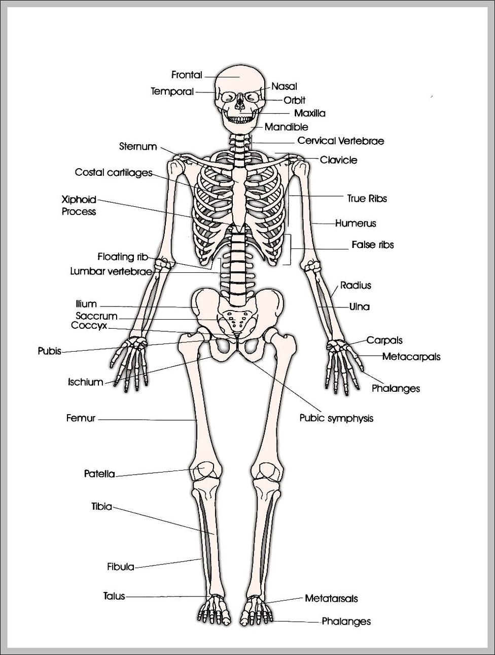 hight resolution of printable human skeleton diagram printable human skeleton chart human anatomy diagrams and charts explained this diagram depicts printable human