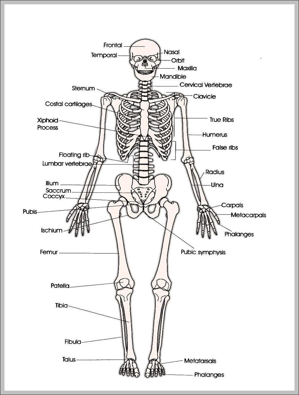 hight resolution of human skeleton anatomy anatomy system human body anatomy diagramprintable human skeleton diagram printable human skeleton chart
