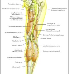 sciatic nerve picture diagram sciatic nerve picture chart human anatomy diagrams and charts explained this diagram depicts sciatic nerve picture with  [ 1021 x 1491 Pixel ]