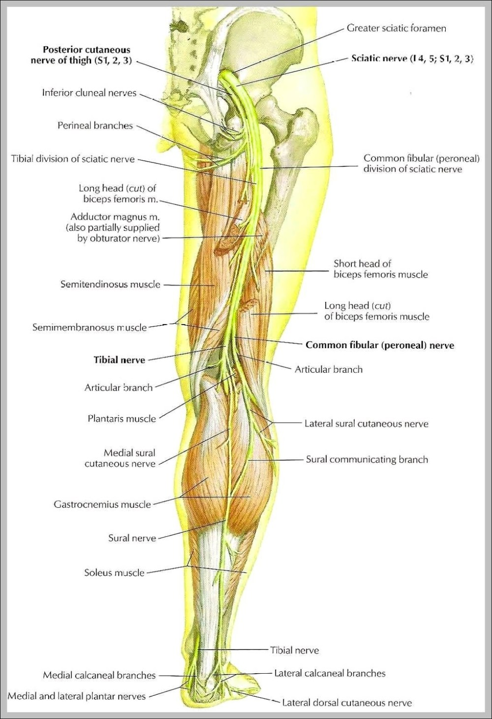 medium resolution of sciatic nerve picture diagram sciatic nerve picture chart human anatomy diagrams and charts explained this diagram depicts sciatic nerve picture with