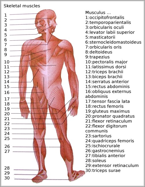 small resolution of skeletal images anatomy system human body anatomy diagram andskeletal muscle diagram
