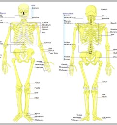 skeleton of the body diagram skeleton of the body chart human anatomy diagrams and charts explained this diagram depicts skeleton of the body with  [ 999 x 912 Pixel ]