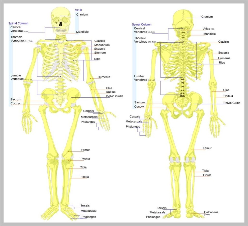 medium resolution of skeleton of the body diagram skeleton of the body chart human anatomy diagrams and charts explained this diagram depicts skeleton of the body with