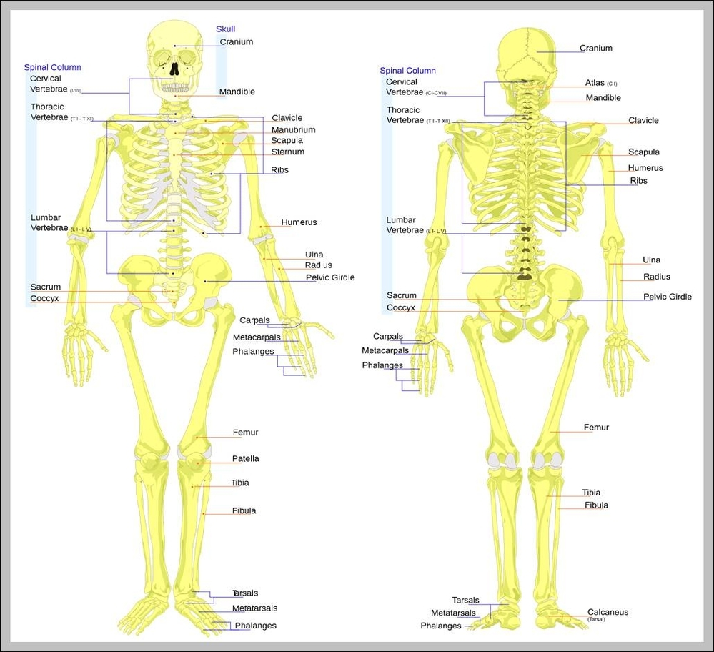 hight resolution of skeleton of the body diagram skeleton of the body chart human anatomy diagrams and charts explained this diagram depicts skeleton of the body with
