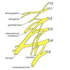 L4 Nerve Pain Diagram Mazda Bt 50 Wiring Lumbar Plexus Gallery