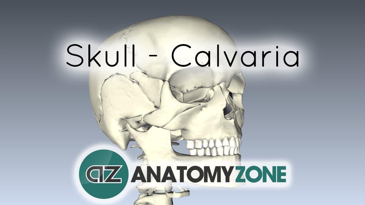 Skull Bones Of The Calvaria Musculoskeletal Skeletal
