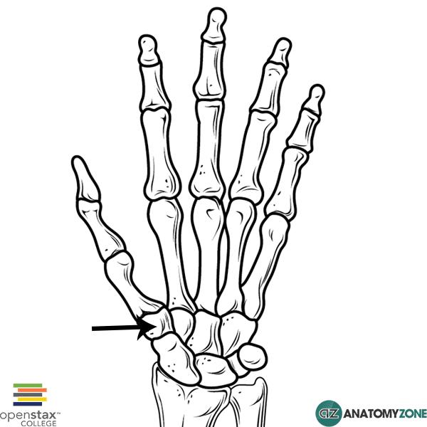 Trapezium Bone • Musculoskeletal, Skeletal • AnatomyZone