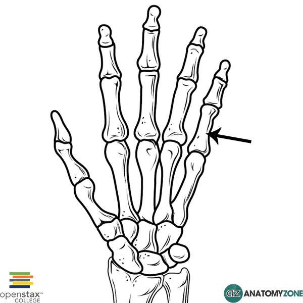 Proximal Phalanx • Musculoskeletal, Skeletal • AnatomyZone
