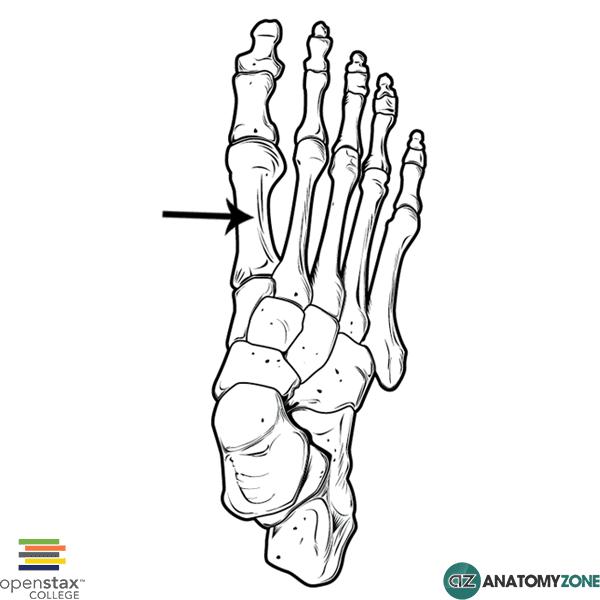 First Metatarsal • Musculoskeletal, Skeletal • AnatomyZone